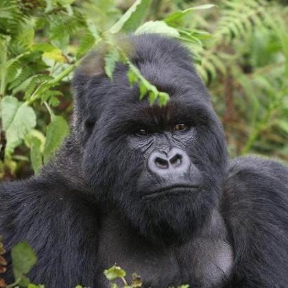 Gorilla Trekking in Uganda's Bwindi Forest