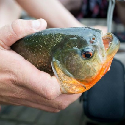 Fishing for Piranhas in the Amazon