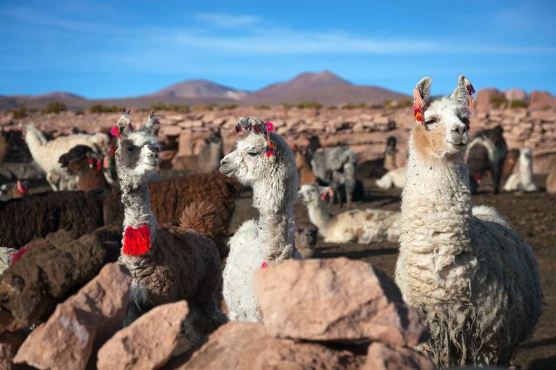 Lama on the Altiplano, Bolivia
