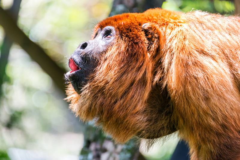 Red howler monkey pack in the jungle near Coroico, Bolivia