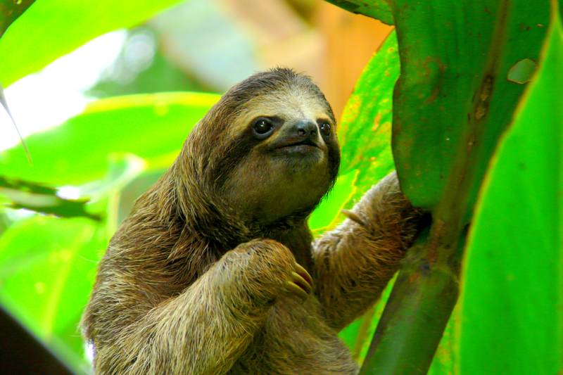 Sloth in Puerto Viejo, Costa Rica