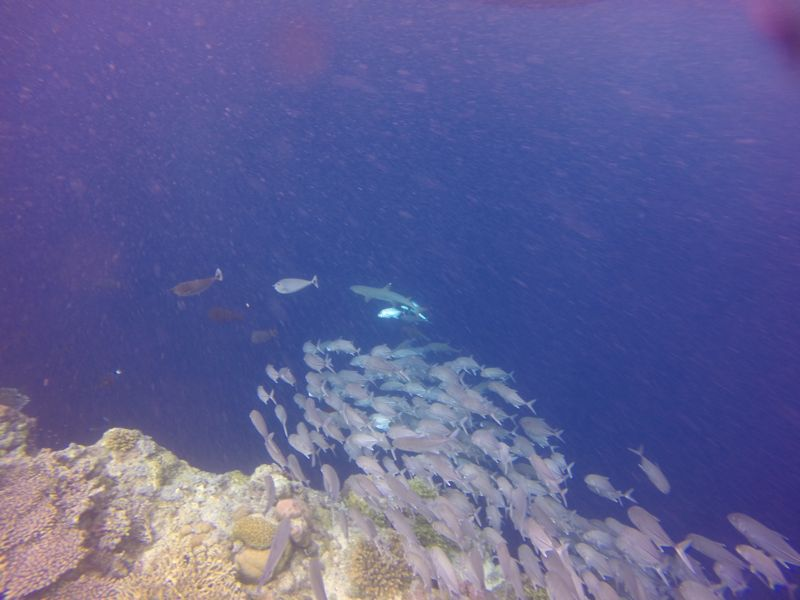 Butter fish, tuna and whitetip reef shark