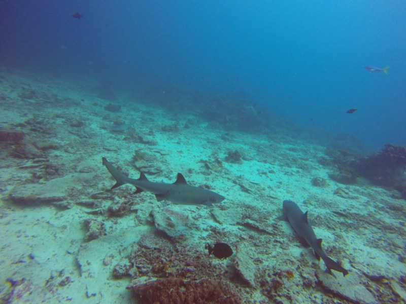 Whitetip reef sharks