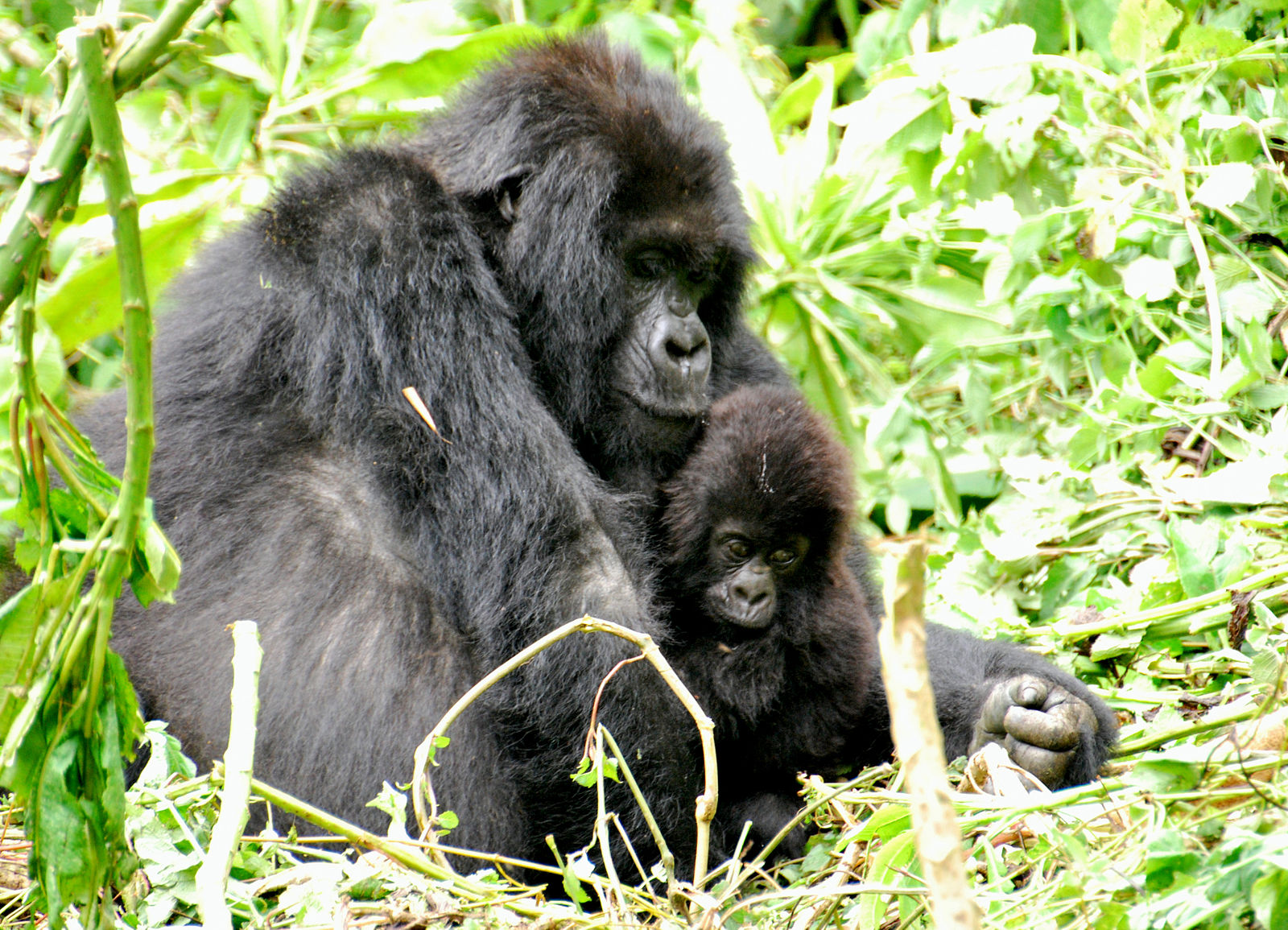 Mother and baby gorillas in Bwindi forest