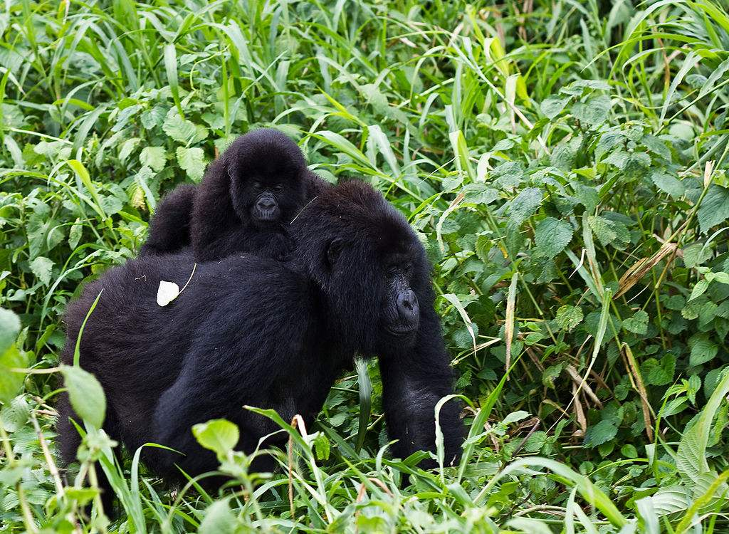 Treking in Bwindi forest to see mountain gorillas
