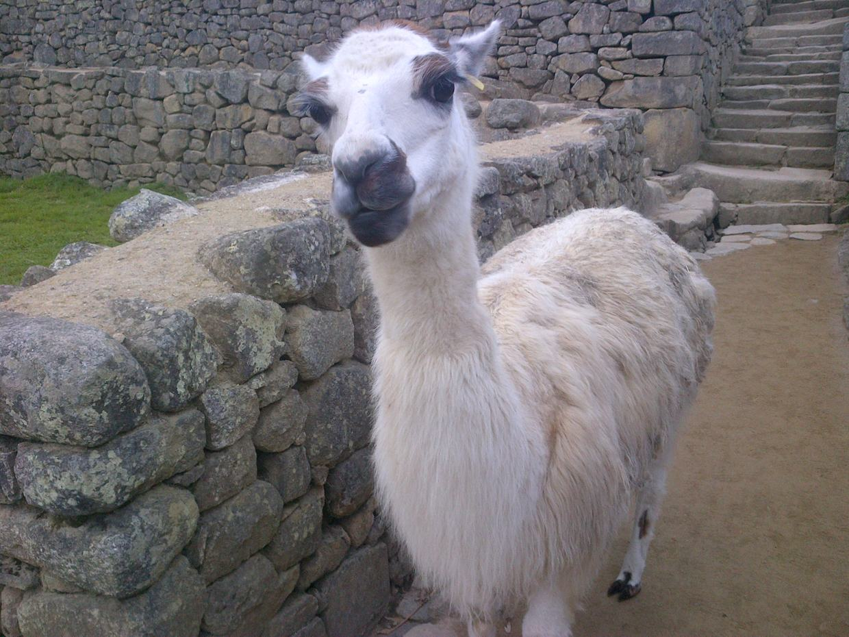Meeting alpaca in Macchu Picchu