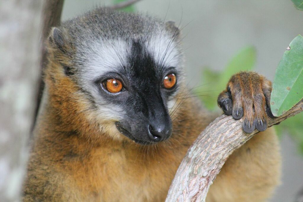 Red-fronted lemur in Isalo national park