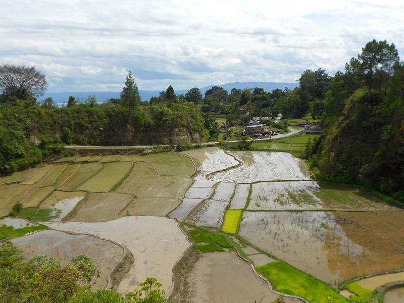 Rice terrace at the neighborhood of Lake Toba