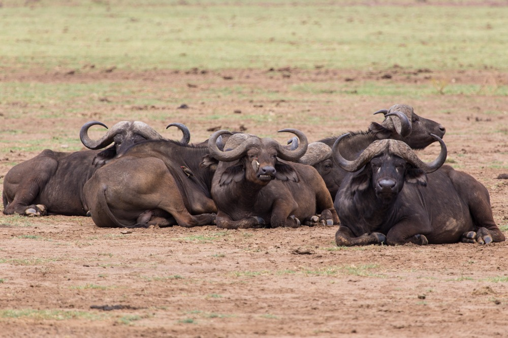 African buffalos having some rest at Lake Manyara