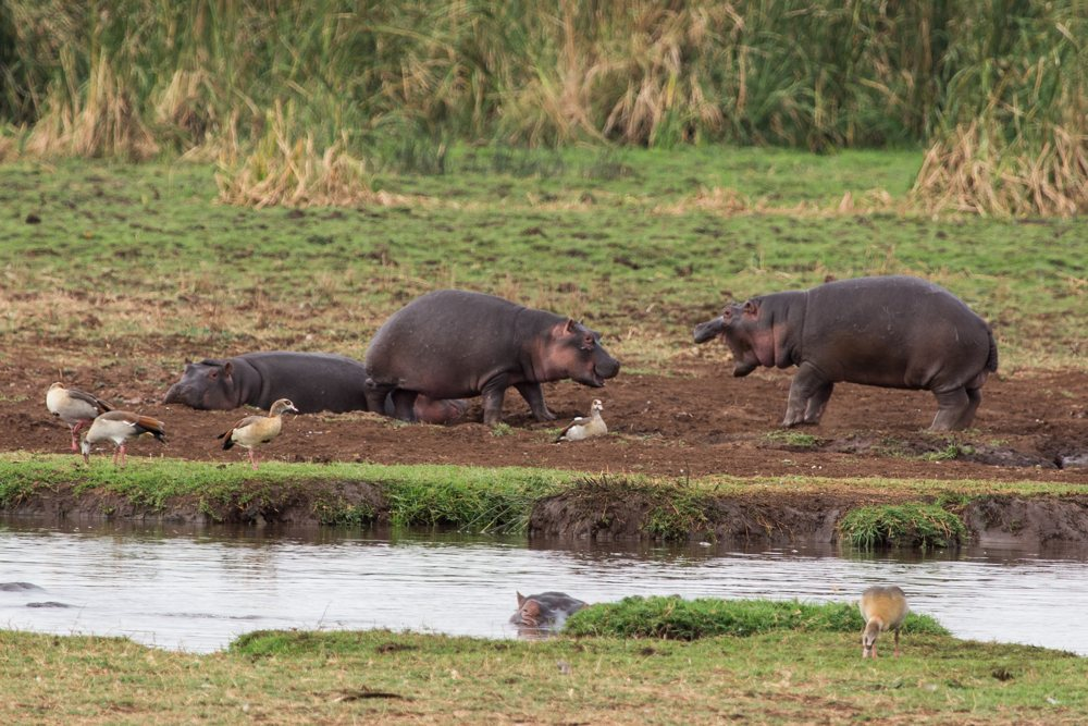 Playing hippos at Lake Manyara