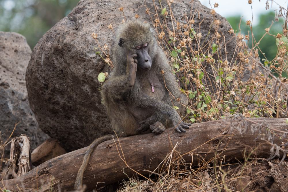 Baboon mommy watching their kids